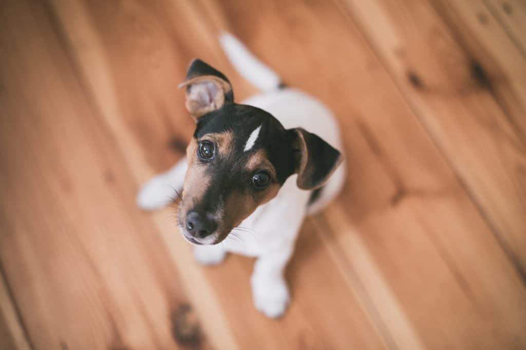 dog on wooden flooring